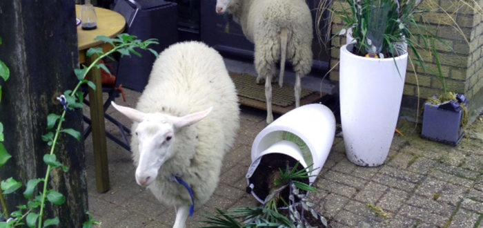 Verdwaalde schapen (foto credits: Frederic Galand)